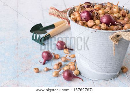 A bucket with small onions for planting, rake and shovel on a light wooden background.