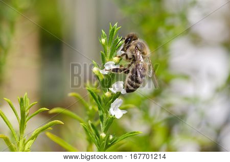 Honey bee collecting and extracting nectar from white thyme flowers. European or Western honey bee, Apis mellifera pollinating on evergreen herb Thymus vulgaris. Macro photo close up.