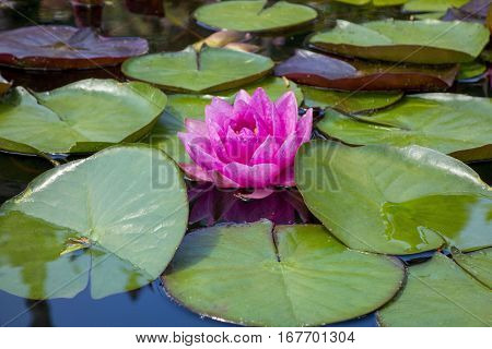 beautiful water lily is blooming in the lake
