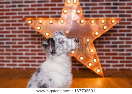 Australian Shepherd (aussie ), 3 Months Old, Sitting Against Decorative Wooden Star With Old Lamps O
