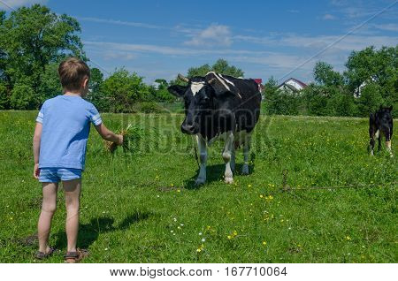 A boy is feeding a cow with a bunch of green grass.