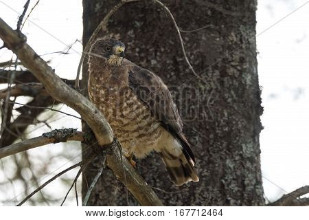 Beautiful young Red-Tail hawk on a tree branch, fluffs up and ruffles his feathers after having just consumed a catch.