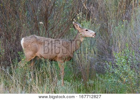 a mule deer doe in willows in fall
