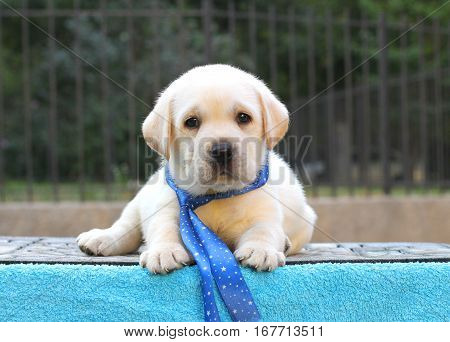 A Little Labrador Puppy On A Blue Background