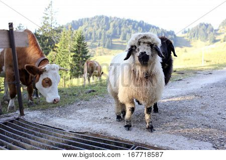some different animals in the bavarian mountains