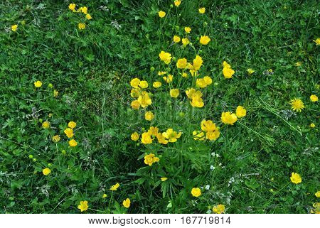 Many yellow flowers and green grass much