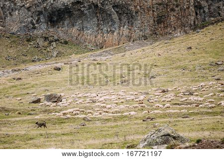 Central Asian Shepherd Dog Tending Sheep In The Mountains Of Georgia. Alabai - An Ancient Breed From The Regions Of Central Asia. Used As Shepherds, As Well As To Protect And For Guard Duty.