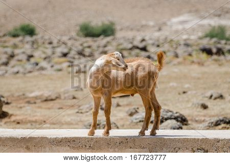 Younger goat standing in concrete wall and looking over its shoulder in Atlas Mountains of Morocco, North Africa.