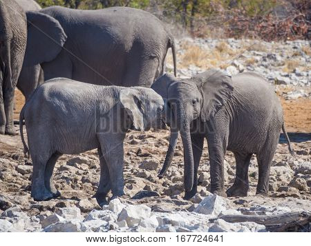 Two very young African elephants interacting and cuddling head to head, Etosha National Park, Namibia, Africa.
