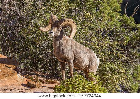 a nice desert bighorn sheep ram in Utah