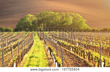 Spring vineyard in evening sunlight. Warm sunbeams illuminate young sprouts of grapes. Straight rows of vineyards in the evening. Beautiful agricultural background.