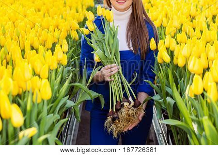Female gardener holding tulips with bulbs, close-up.Growing Tulip Hydroponically, in greenhouse with lots of yellow tulips.