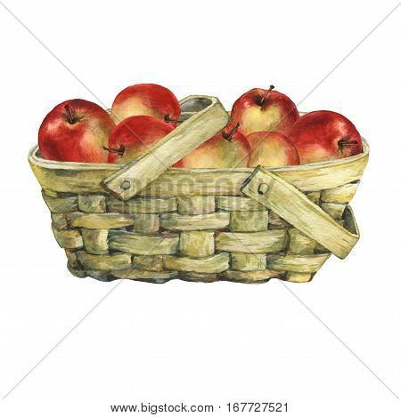 Wicker basket of veneer, filled with fresh red apples. Hand drawn watercolor painting on white background.