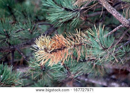 Dying Pine Tree Needles Turned Red