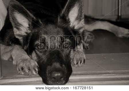 Sad German shepherd puppy lying on the floor and waiting for its owner (selective focus on the eyes) in sepia vintage style