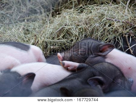 Cute newborn piglets lying on each other and sleeping in the straw in the barn