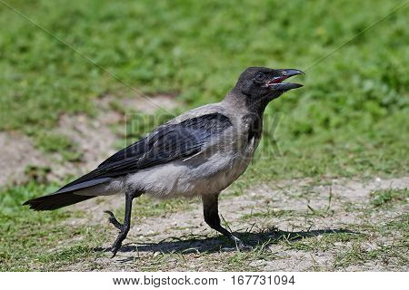 Hooded crow walking on the ground in its habitat