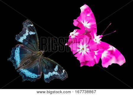 Close up of Blue Admiral (Kaniska canace) butterfly and pink flower in same shape as the butterfly black background