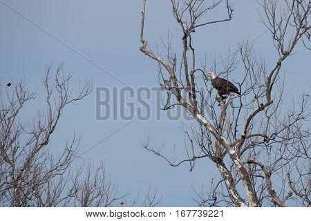 Bald Eagle (haliaeetus leucocephalus) in a barren tree