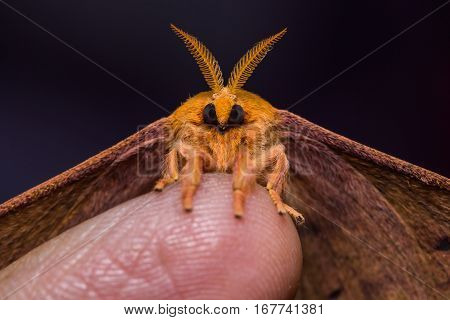 Cricula Silkmoth On Finger