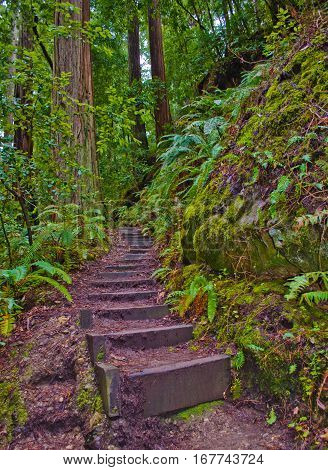 Stair Steps through the Redwoods Sky to Sea Trail