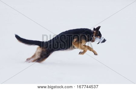 Funny German shepherd dog jumping in the snow and snow-diving (winter concept)