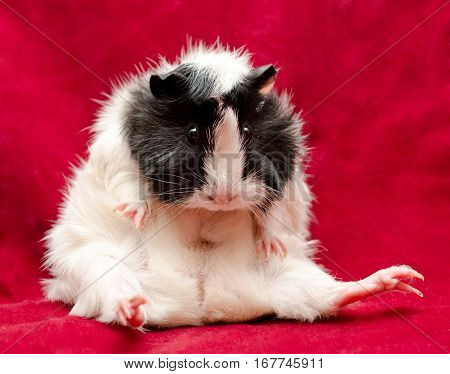 Cute funny guinea pig sitting on a red background