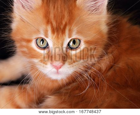 Big Magic Kitten Eyes. Closeup. Red Solid Maine Coon Ginger Small Cat With Beautiful Brushes On The