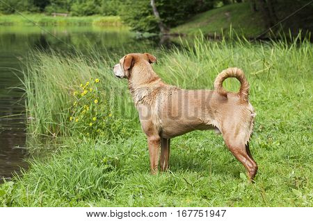 Wet brown dog standing by the lake.