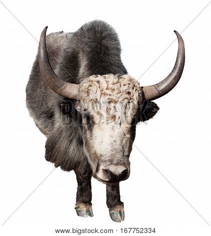 Black and white yak (Bos grunniens or Bos mutus) isolated on white background
