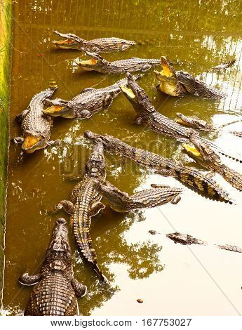 Crocodiles In Pool On Crocodile Farm