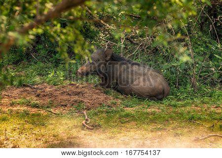 Wild boar, Sus scrofa, in Yala National Park
