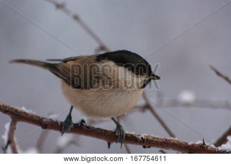 Marsh Tit Winter