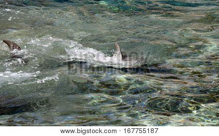 Bottlenose dolphins swimming Latin name Tursiops truncatus