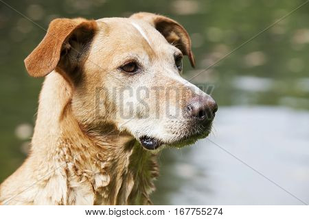 Brown dog in the water background. Close up.