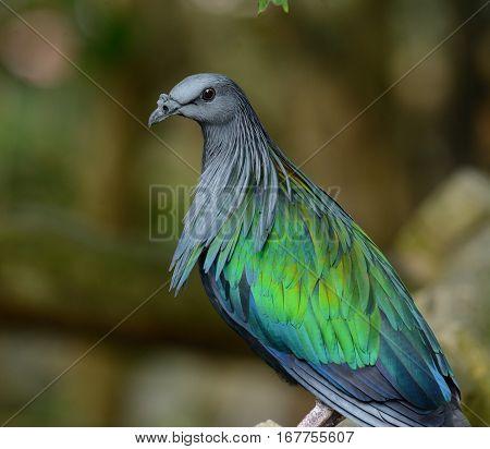 beautiful female Nicobar Pigeon (Caloenas nicobarica) standing on branch