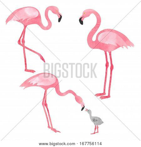 Set of flamingos isolated on white. Vector illustration of flamingo with chick.