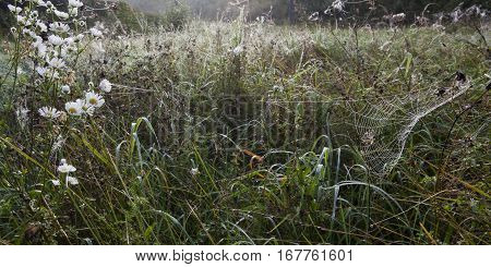 Meadow on a foggy autumn morning with white wild flowers and a dewy spiderweb.