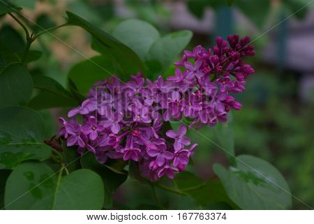Purple lilac blossom flover on the branch