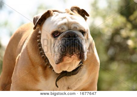 Tough Bulldog