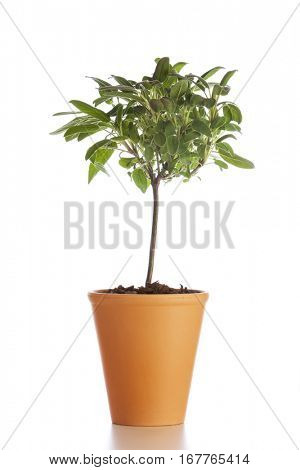 Food ingredient herb. Tree shaped sage plant in flower pot isolated on white background
