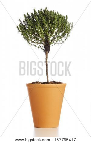 Food ingredient herb. Tree shaped thyme plant in flower pot isolated on white background