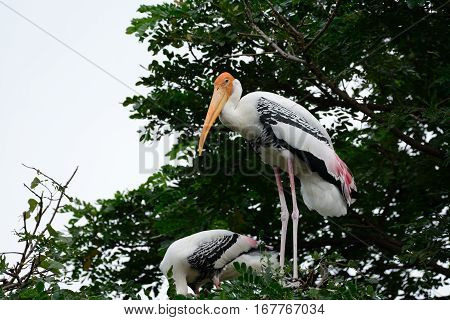 breeding colony of Painted Stork (Mycteria leucocephala) in Thai forest