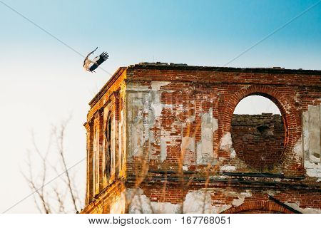 Adult European White Stork Lands On Wall Of Old Ruined Orthodox Church Of The St. Nicholas In Village Lenino, Dobrush District, Gomel Region, Belarus