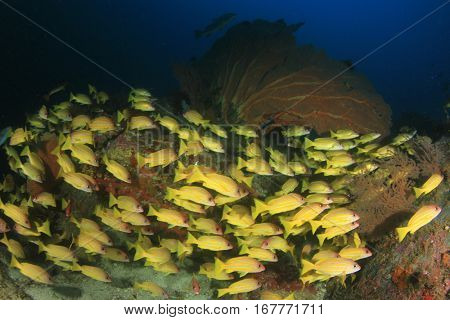 Fish shoal in ocean. Snapper fish on coral reef. Underwater sea life