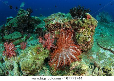 Crown-of -thorns Starfish feeds on coral reef