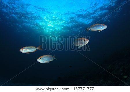 Fish in ocean. Crescent-tailed Bigeye fish