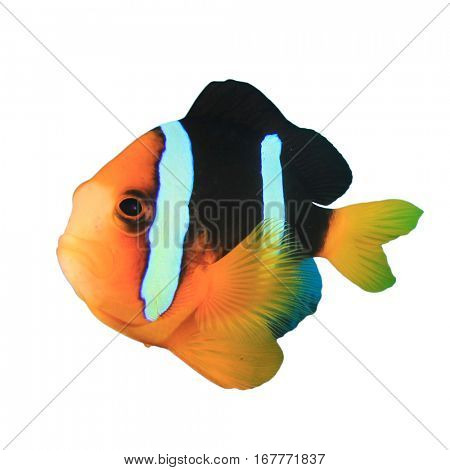 Clownfish isolated. Fish on white background. Clarke's Anemonefish