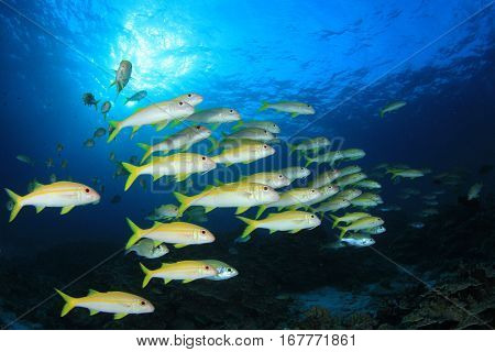 Fish school. Goatfish and coral reef. Underwater fish and ocean