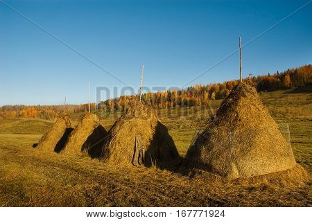 Stacks of hay. Beautiful fall landscape. Bright forest on background.